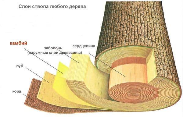 Слои ствола любого дерева