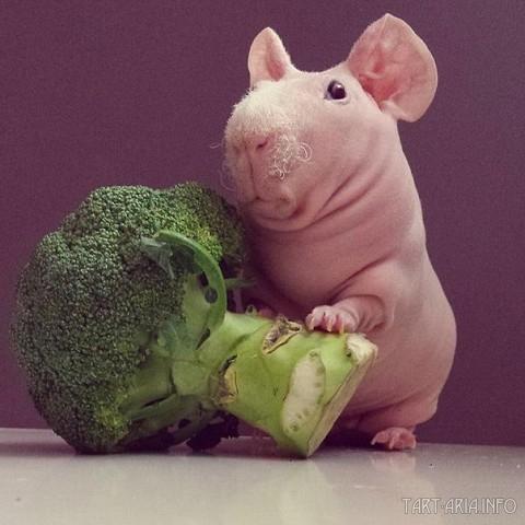голый крыс